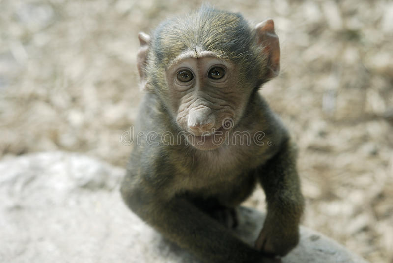 Smiling Olive Baboon