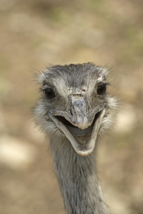Download Smiling ostrich stock image. Image of farm, feathers - 26289897