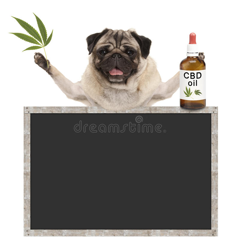 Smiling pug puppy dog, holding bottle of CBD oil and hemp leaf, with blank blackboard sign. Isolated on white background royalty free stock photos