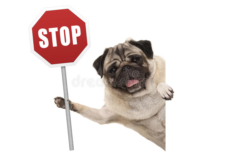 Smiling pug puppy dog holding up red traffic stop sign stock photo