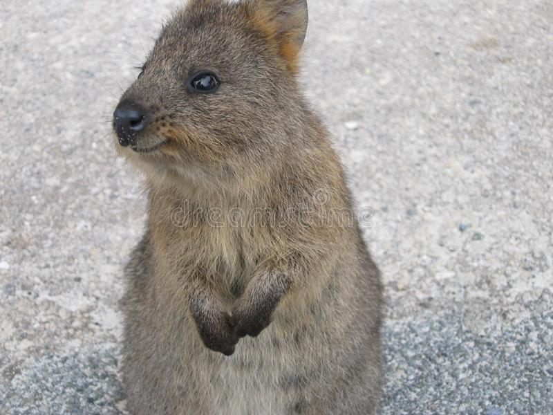Smiling Quokka Stock Images