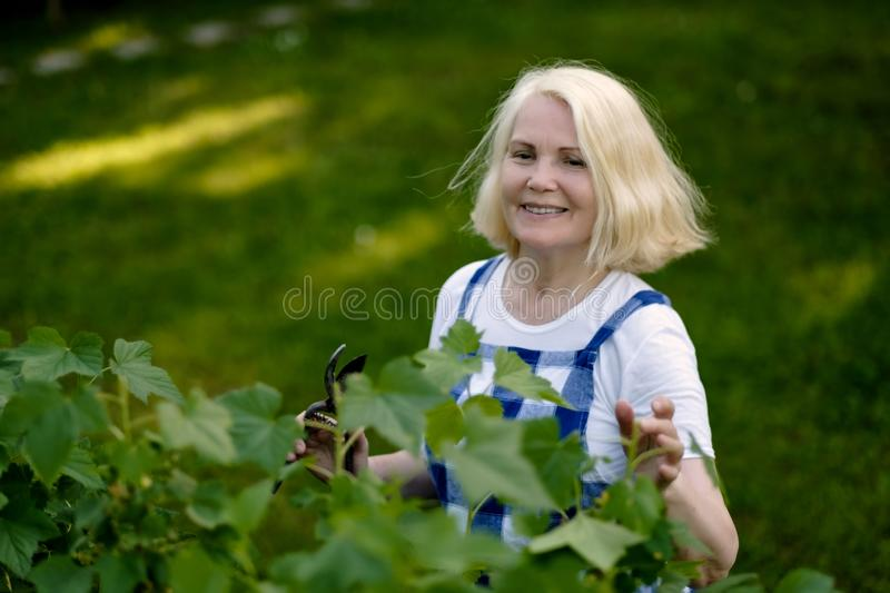 Smiling retired woman pruning black currant leaves on her garden yard royalty free stock image