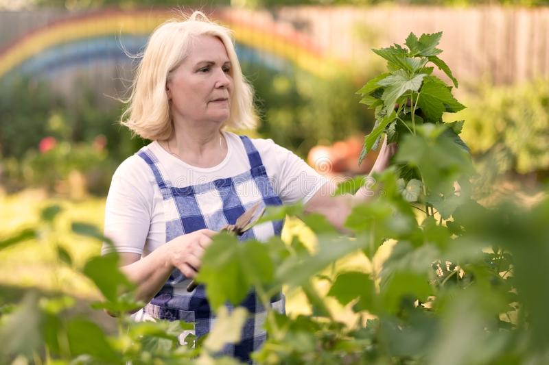 Smiling retired woman pruning black currant leaves on her garden yard stock photo