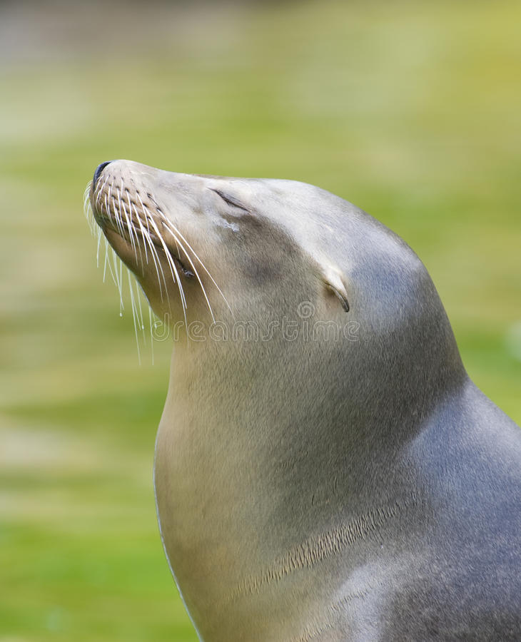 Smiling sea lion royalty free stock image