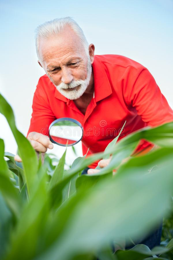 Smiling senior, gray haired, agronomist or farmer examining corn plant stems, looking for parasites royalty free stock photos