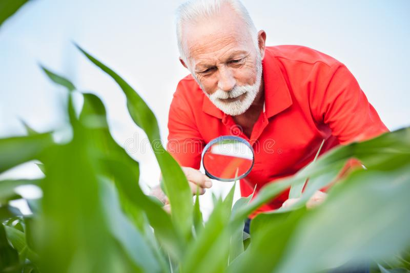 Smiling senior, gray haired, agronomist or farmer in red shirt examining corn plant leaves in a field. Looking for parasites under the magnifying glass. Low royalty free stock image