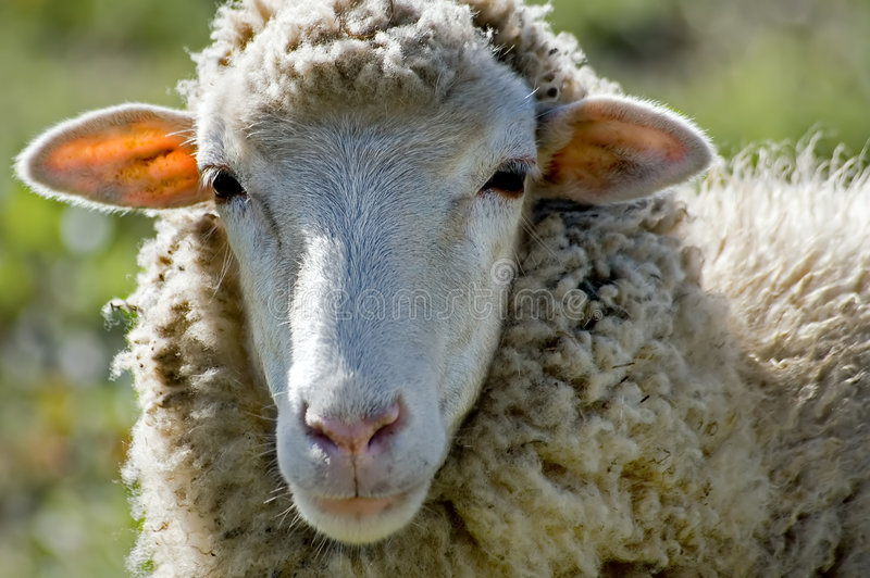 Smiling sheep stock images