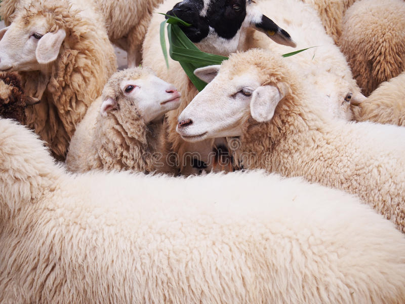 Smiling sheeps in flock at livestock farm. royalty free stock photography