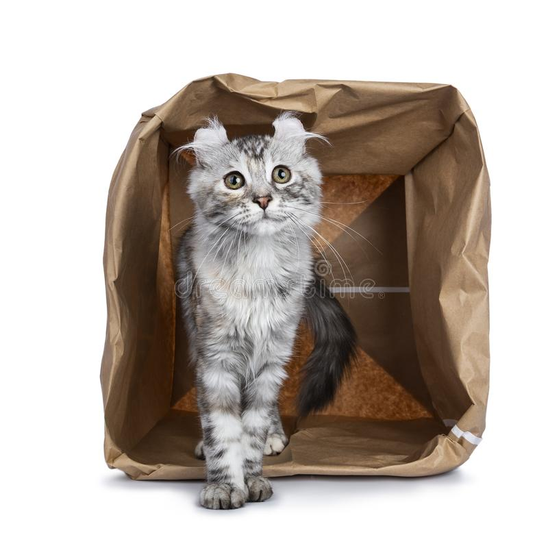 Smiling silver tortie American Curl cat kitten standing with backside in paper storage bag facing camera isolated on white backgro. Smiling silver tortie royalty free stock image