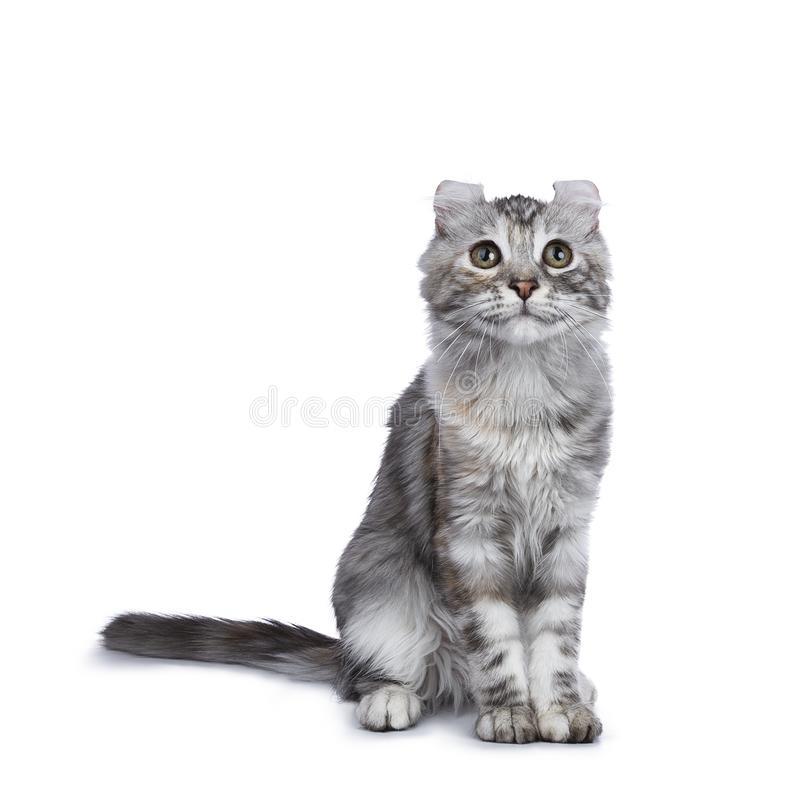 Smiling silver tortie American Curl cat kitten sitting facing front isolated on white background and looking up. Smiling silver tortie american curl cat kitten royalty free stock images