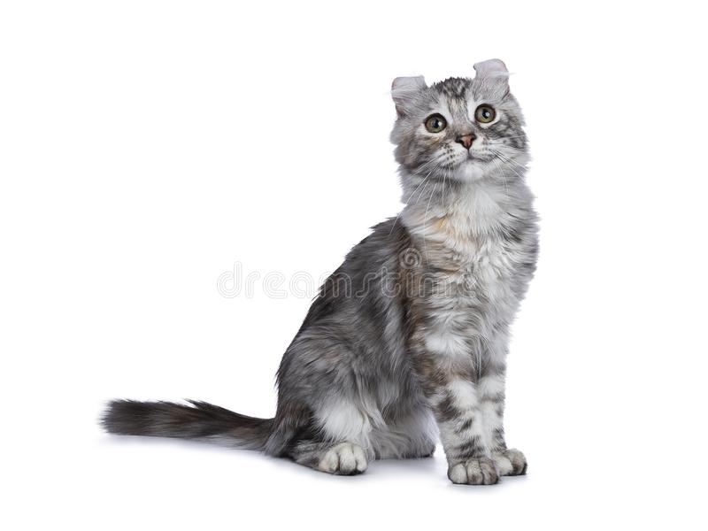 Smiling silver tortie American Curl cat kitten sitting side ways isolated on white background and looking up. Smiling silver tortie american curl cat kitten on stock photo