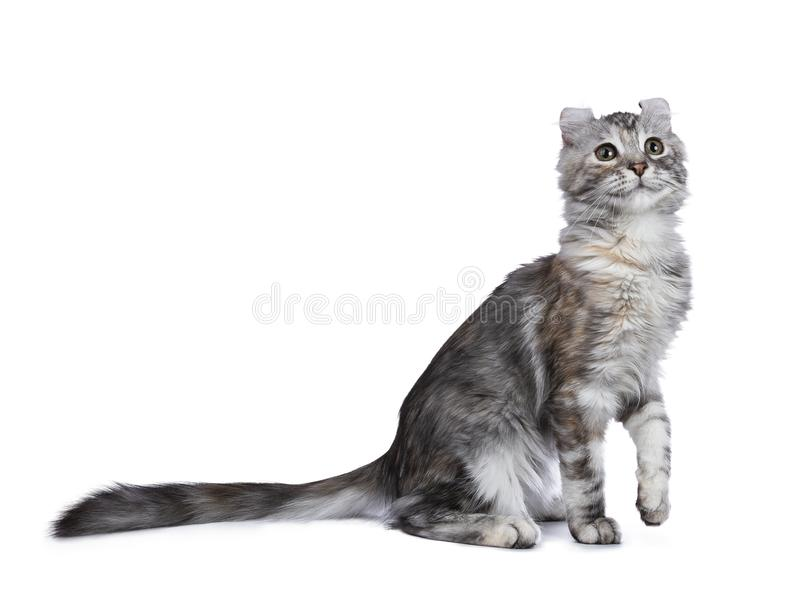 Smiling silver tortie American Curl cat kitten sitting side ways isolated on white background with one paw lifted in air and looki. Smiling silver tortie stock photography