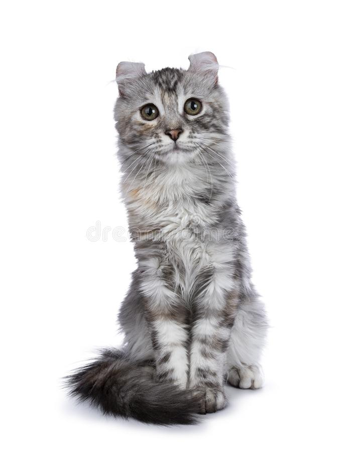 Smiling silver tortie American Curl cat kitten sitting straight up facing camera isolated on white background and looking in lens. Smiling silver tortie american royalty free stock photo