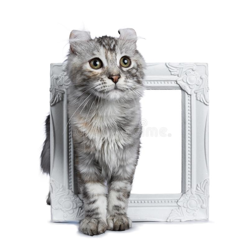 Smiling silver tortie American Curl cat kitten standing throught white picture frame isolated on white background and looking besi. Smiling silver tortie stock photo