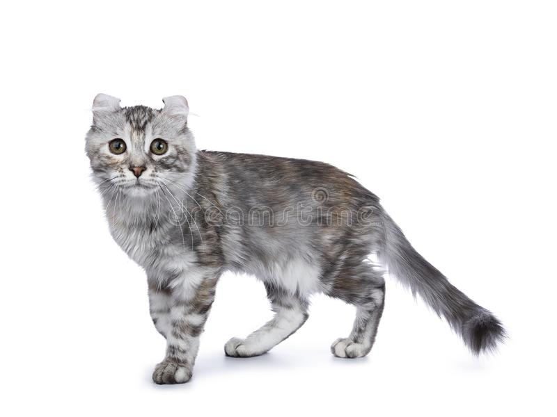 Smiling silver tortie American Curl cat kitten walking side ways isolated on white background and looking at lens. Smiling silver tortie american curl cat kitten stock images