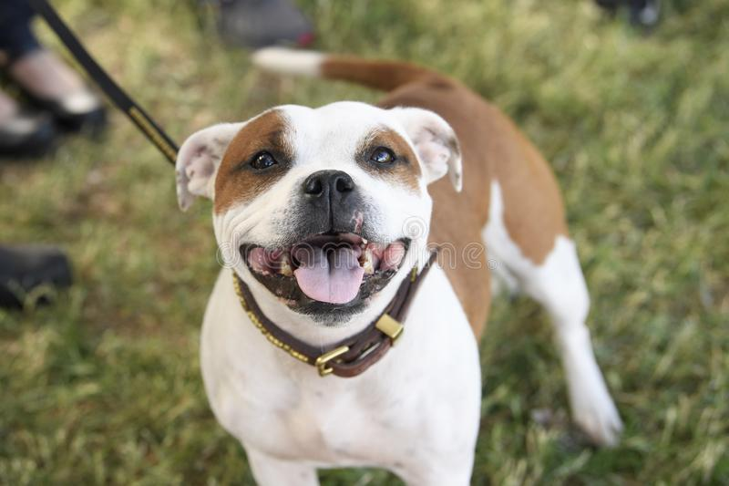 Smiling Staffordshire Terrier looking up at the camera stock image