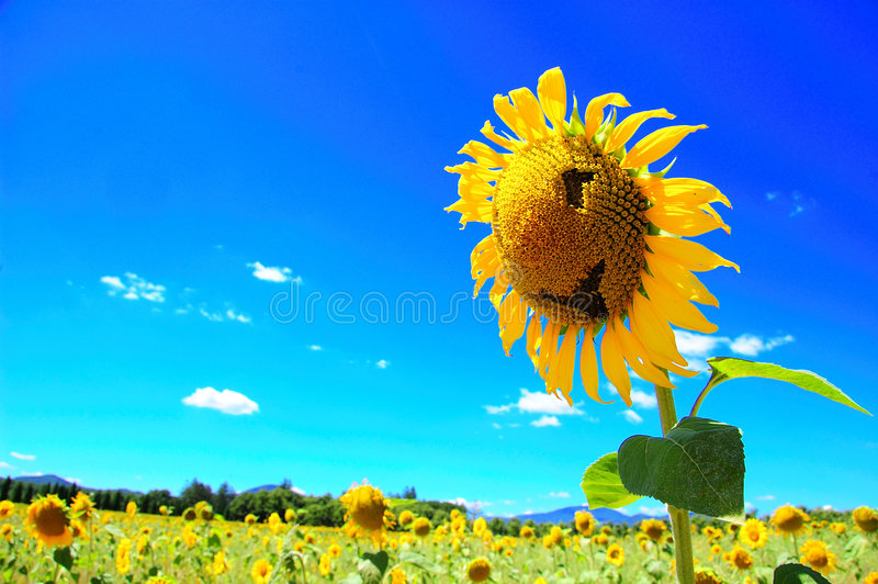 Download Smiling Sunflower stock image. Image of tuscany, yellow - 6613821