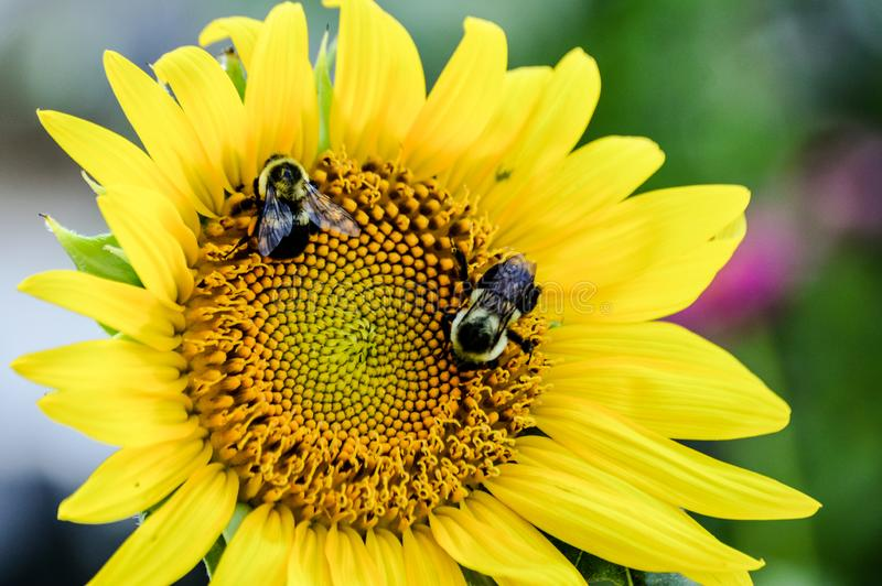 Smiling sunflower face with bumble bees as eyes royalty free stock photography