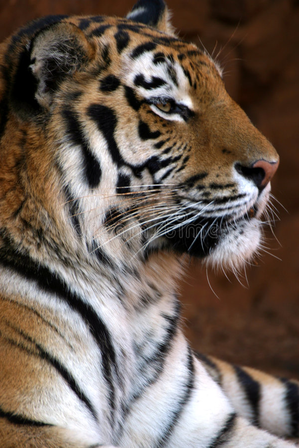 Smiling tiger portrait. In Johannesburg Zoo stock photos