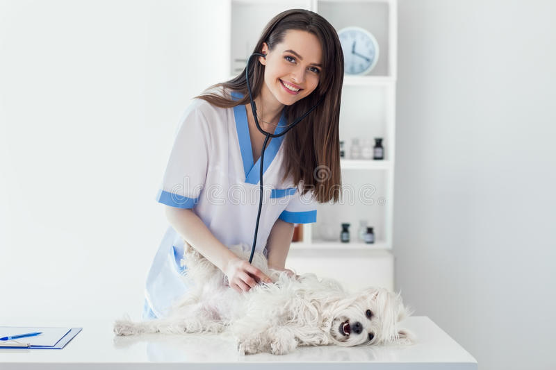 Smiling veterinarian doctor examining cute white dog in clinic royalty free stock photo