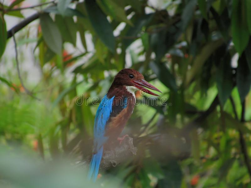 Smiling White-throated Kingfisher. White-throated Kingfisher, a common garden bird in Malaysia, with its beak opened. This gives it the appearance like it is stock images