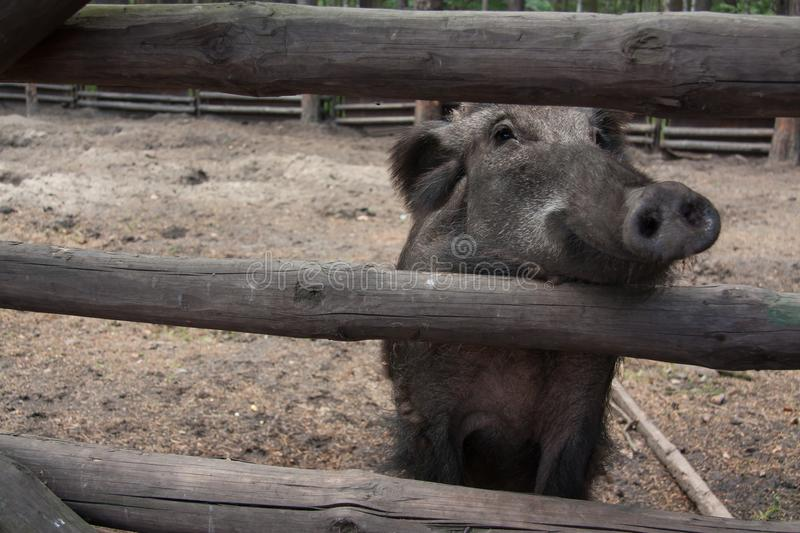 Smiling Wild Boar royalty free stock image