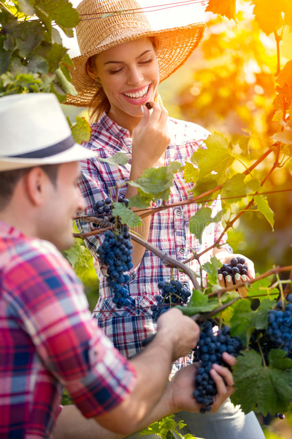 Smiling woman eating grape while man picking grapes royalty free stock images