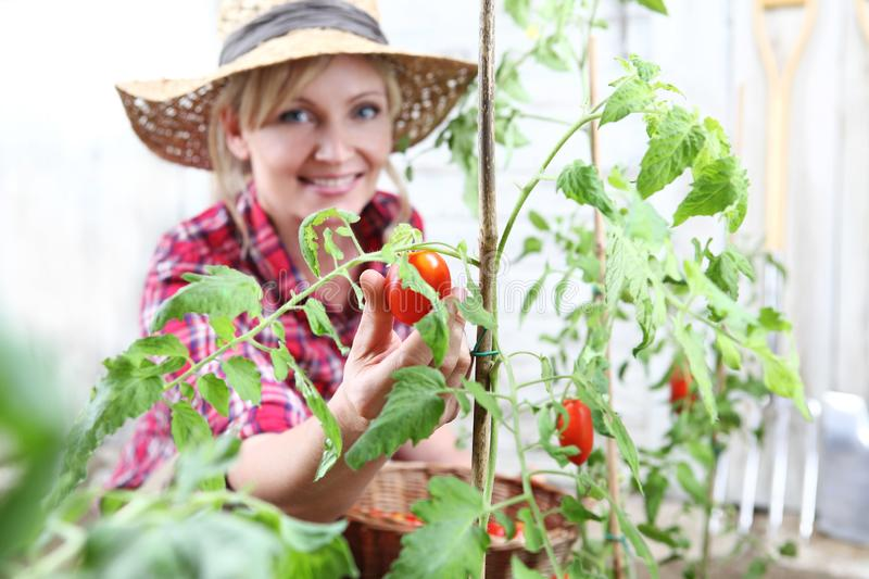 Smiling woman in vegetable garden, hand picking cherry tomato royalty free stock photos