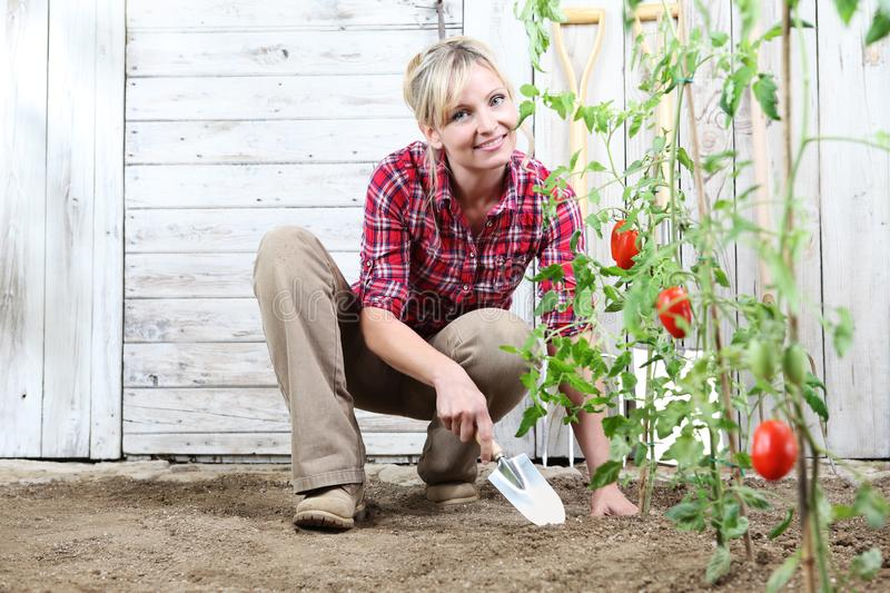 Smiling woman in vegetable garden, working with garden trowel tool on ground, cherry tomatoes plants and white wooden shed in. Background royalty free stock images