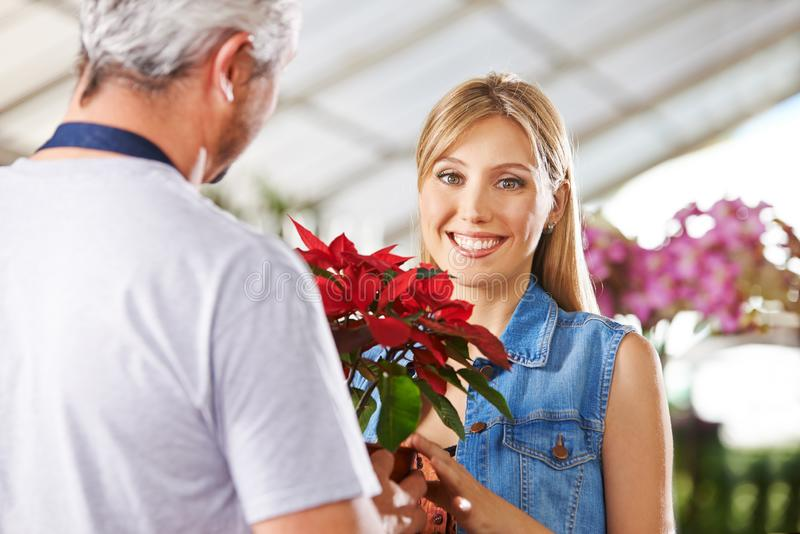 Woman buys poinsettia in flower shop royalty free stock photography