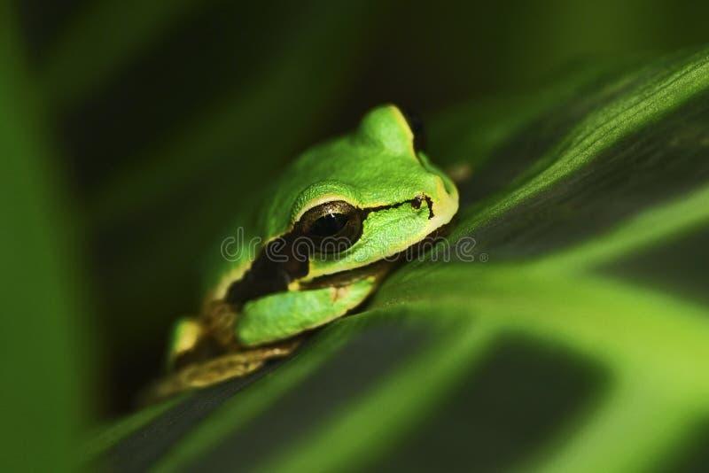 Smilisca mascherato, phaeota di Smilisca, rana verde tropicale esotica da Costa Rica, ritratto del primo piano fotografie stock libere da diritti