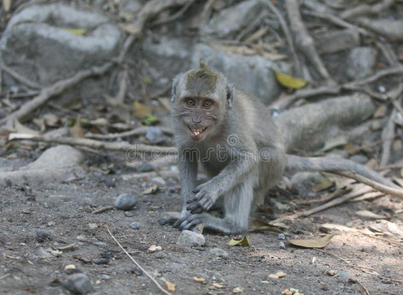smilling野生的猴子 图库摄影