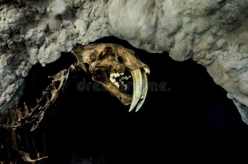 Smilodon saber zębu extant koci obrazy royalty free