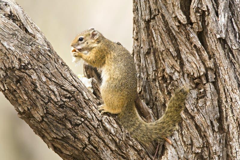 Smith \ 'écureuil de s Bush, cepapi de Paraxerus photo stock