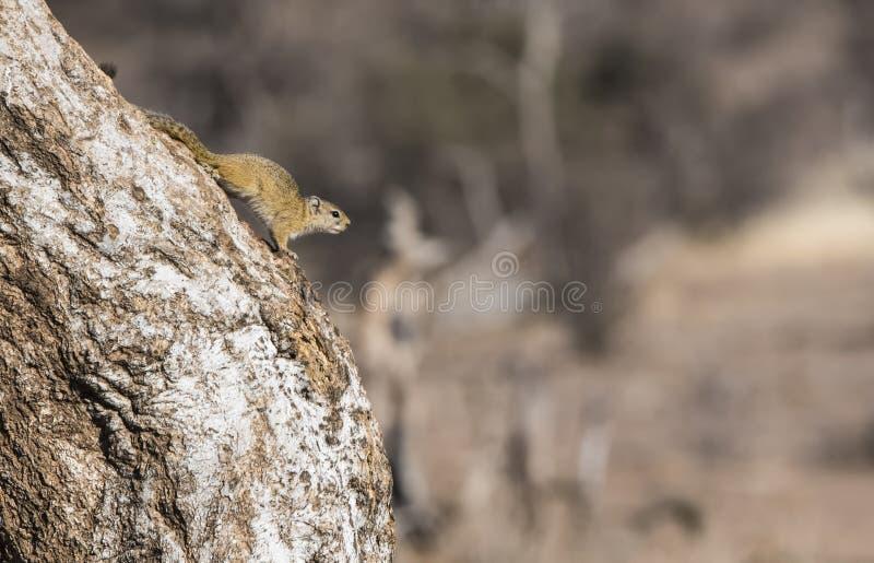 Smith& x27 ; écureuil de s Bush et x28 ; Cepapi& x29 de Paraxerus ; sur un arbre image libre de droits