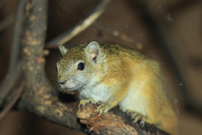 Smith bush squirrel stock photo