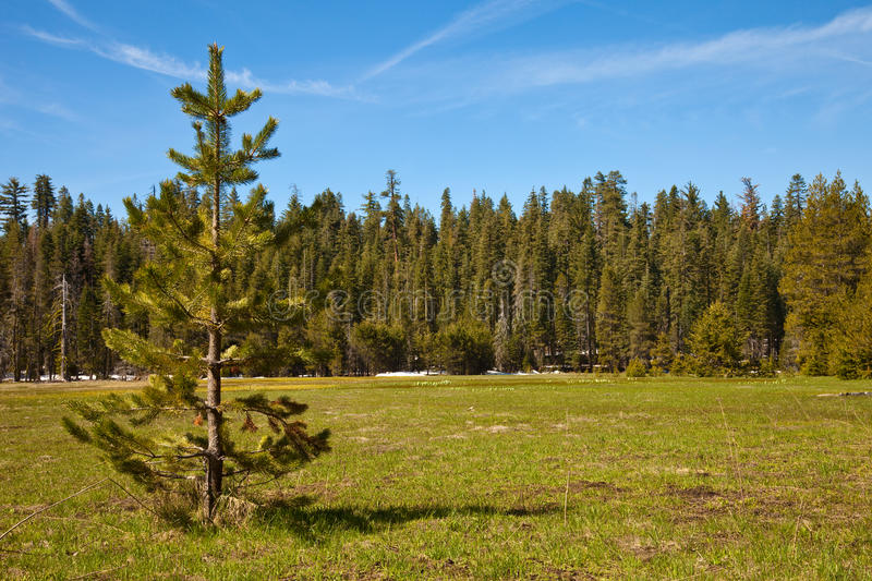 Download Smith Meadows stock photo. Image of conifer, white, green - 14731464