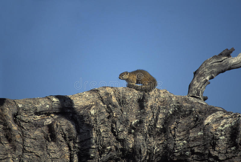 Smith's bush squirrel, Botswana. stock images