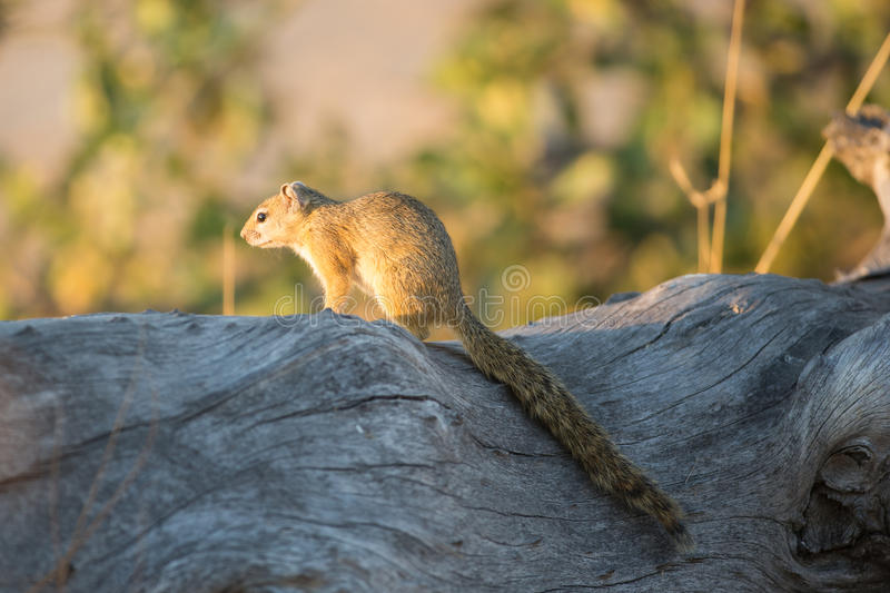 Smith's Bush Squirrel (Paraxerus cepapi) royalty free stock photography
