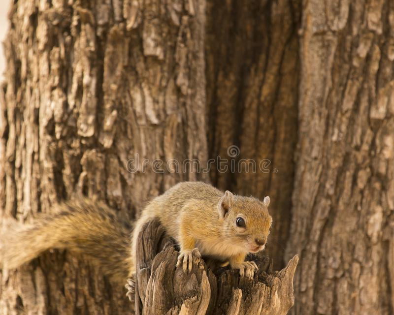 Smith`s bush squirrel in tree stock photography