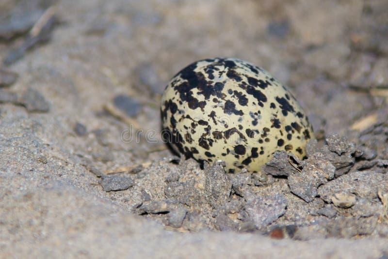 Smith siewka Camouflaged życie - Afrykański Dziki Ptasi Jajeczny tło - obraz royalty free