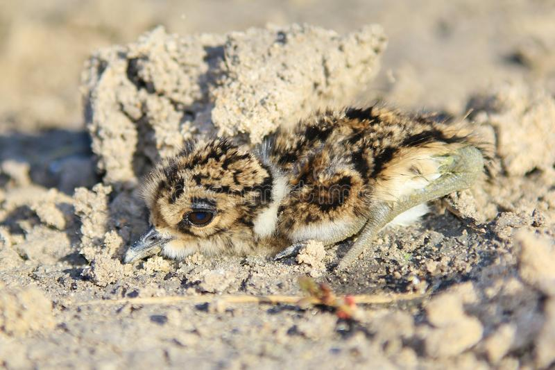 Smith siewka Camouflaged dzieci kurczątka - Afrykański Dziki Ptasi tło - obraz stock