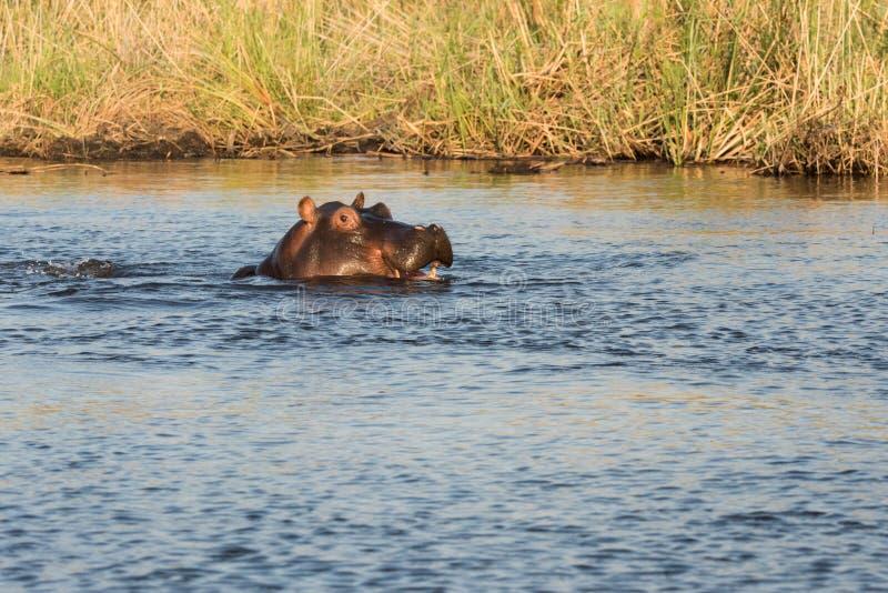 Smlie del hipopótamo fotos de archivo libres de regalías