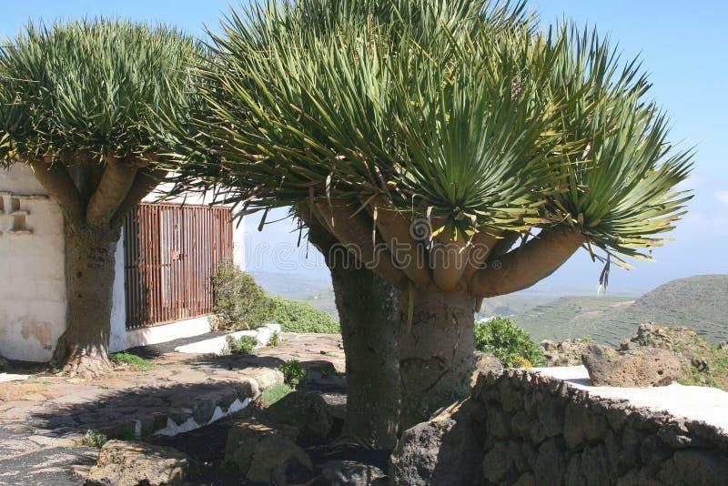 Smoków drzewa przy wyspami kanaryjska, Hiszpania obraz stock