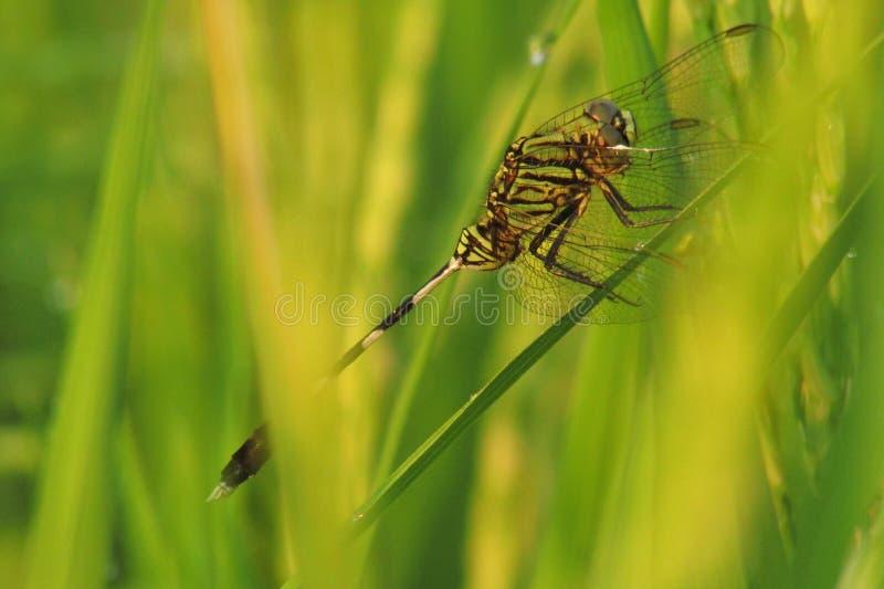 Smok komarnica obraz stock