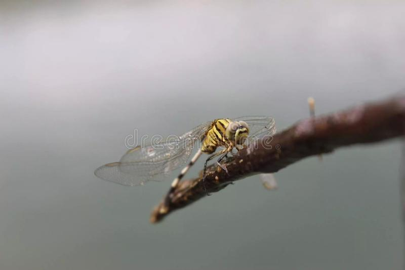 Smok komarnica obraz royalty free