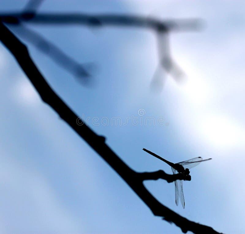 Smok komarnica zdjęcia royalty free