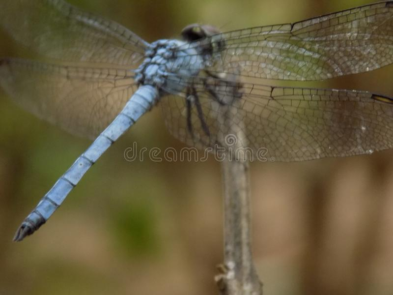 Smok komarnica zdjęcia stock