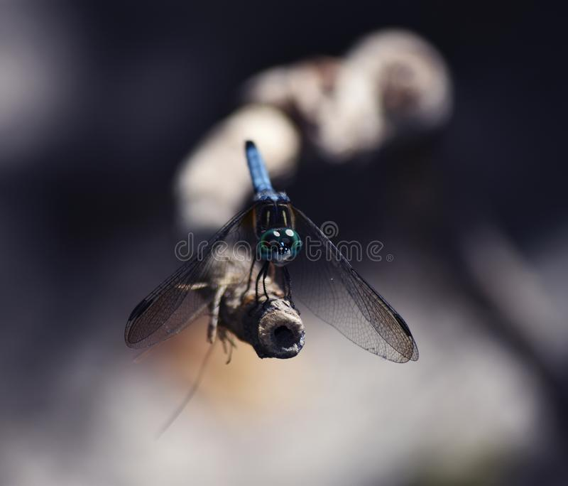 Smok komarnica na gałąź obrazy stock