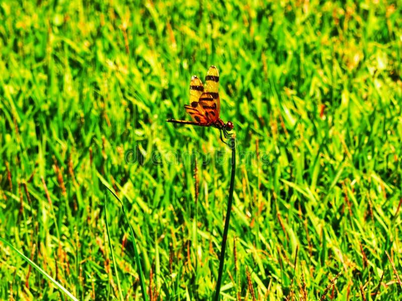 Smok komarnica odpoczywa na kwiatu trzonie zdjęcie stock